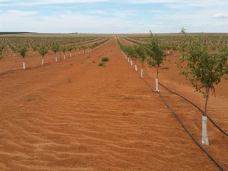 Almond Development in the Riverland